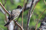Dusky-capped Flycatcher (Myiarchus tuberculifer)