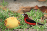 Crimson-backed Tanager (Ramphocelus dimidiatus)