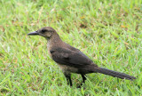 Great-tailed Grackle (Juvenile)
