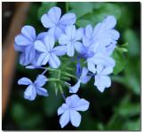 IMG_0136 blue flower .jpg