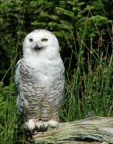 Salmonier 2008 008 - Snowy Owl