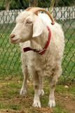 DSC03020 - Angora Goat