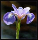 DSC03791 - Blue Flag Iris
