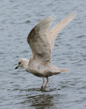 DSC06497 - Dancing Gull