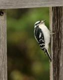 DSC07168 - Downy Woodpecker