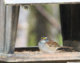 DSC07063 - White Throated Sparrow