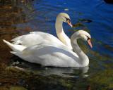 Bowering Park Autumn Swans 015