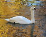Bowering Park Autumn Swans 018