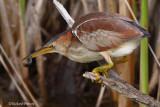 Petit Blongios adule femelle 12 Île Bizard 28-08-2008.jpg