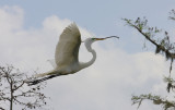 Great Egret Bringing a Twig to Build the Nest