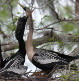 Anhingas in the Courting Season