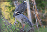 Yellow Crowned Night Herons with Egg in Nest