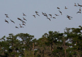 Teal Ducks in Migration