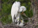 Great Egrets - Motherly Love
