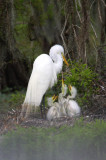 Great Egret and her Three Babies Rival the Louisiana State Seal