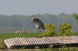 Heron on a Hot Tin Roof