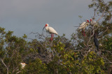 Ibises in their Mating Colors