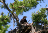 Young Eagle Still in Nest - 2010