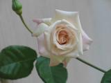 Memere's Rose
