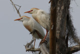Cattle Egrets in Breeding Colors