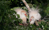Cattle Egrets All Fluffed Up and Courting