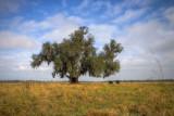 Live Oak in Meraux, Louisiana