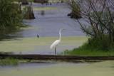 Great Egret in Wetlands