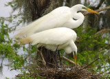 Egrets with eggs