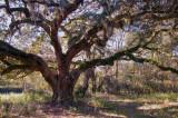 The Lee Bing Oak
