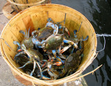 Blue Crabs of Louisiana - Bragging Rights