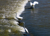 Egrets Fishing