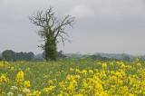 Tree In Canola Field