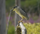 Black-Crowned Night-Heron (Two Images)