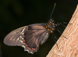 Polydamas Swallowtail (or Gold Rim or Tailless Swallowtail)