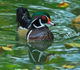 Male and Female Wood Ducks -- Two Images