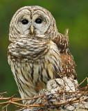 Barred or Hoot Owl 2