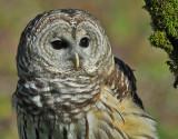 Barred or Hoot Owl 3