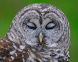 Barred or Hoot Owl 4