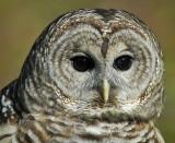 Barred or Hoot Owl 5