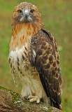 Red-Tailed Hawk 1 (Molting)