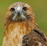 Red-Tailed Hawk 2 (Molting)