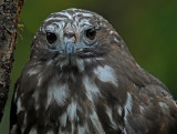 Harlan's Hawk 1