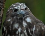 Harlan's Hawk 2