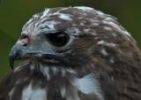 Harlan's Hawk 3