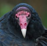 Turkey Vulture 2