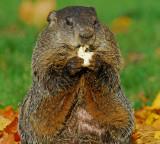 Woodchuck or Groundhog 2