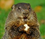 Woodchuck or Groundhog 3
