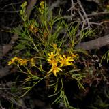 B. Menziesii Flowers