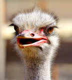 A day with ostriches