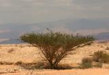An Acacia Tree